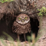 Action Alert: May 12, 13, or 14, 2021, the California Coastal Commission Making decision to allow helicopters to scatter poisonous bait to kill 8-10 owlsor not to permit the U.S. Fish and Wildlife Service to use helicopters to scatter 1.5 tons of c